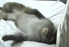 Monkey in Hospital Bed