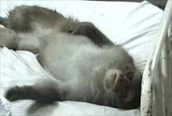 Monkey in hospital bed.661