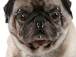 Pug with piercings