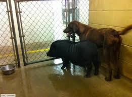 Pig and Dog in Shelter