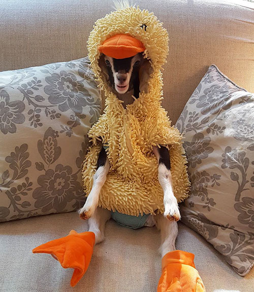 Goat wears Duck costume for a reason
