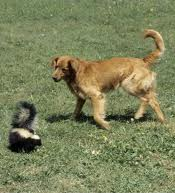 Skunk and dog