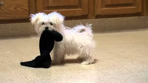 Dog Playing with Sock