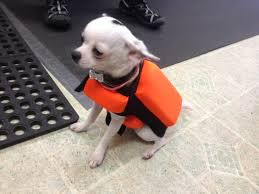 Dog Wearing Spike Bite Vest