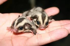 Two Sugar Gliders in the palm of a hand.670