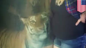 Tiger Watches Pregnant Woman