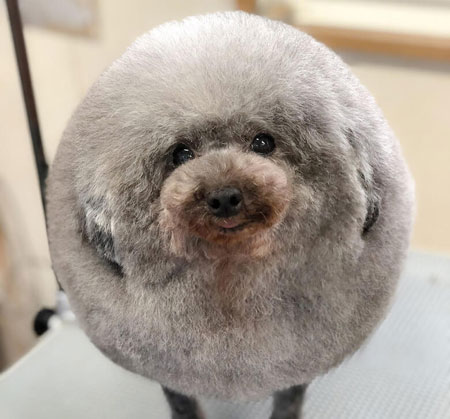 230fbc8b3bd A dog groomer in Japan is literally turning dogs into fluff balls. Yoriko  Hamachiyo is clipping usually small dogs into a ball.