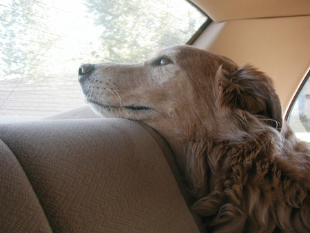 Canine Car Sickness Solutions