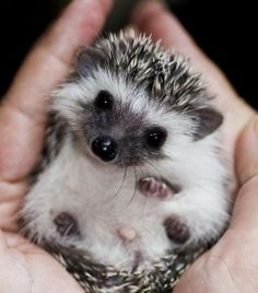 Hedgehogs can spread salmonella