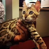 Banning Hybrid Cats on Animal Radio®