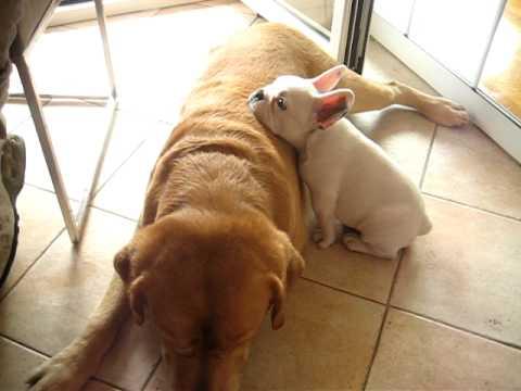 French Bulldog topples Lab