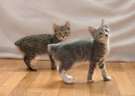 Manx kitties on Animal Radio®