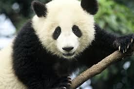 Panda Faking Pregnancy