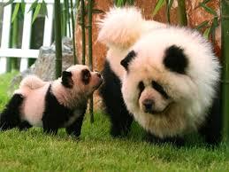 Panda Dogs on Animal Radio®