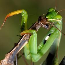 Praying Mantis Sex Sucks….for the guy.