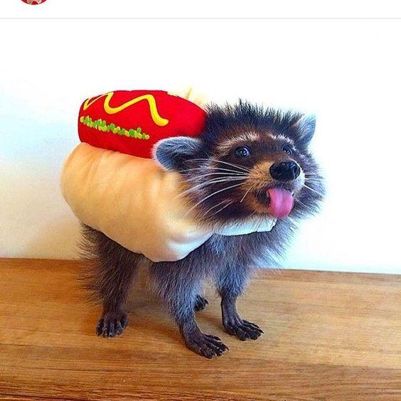 Pet raccoon in costume