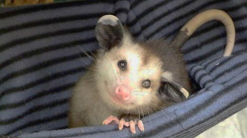 Opossum Rescue is a thing.