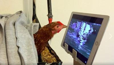 Strawberry the Chicken watches TV