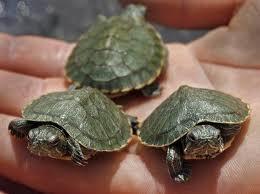 Dangerous Turtles